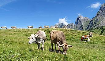 Kühe in der Schweiz