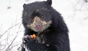Bär im Winter im Zoo